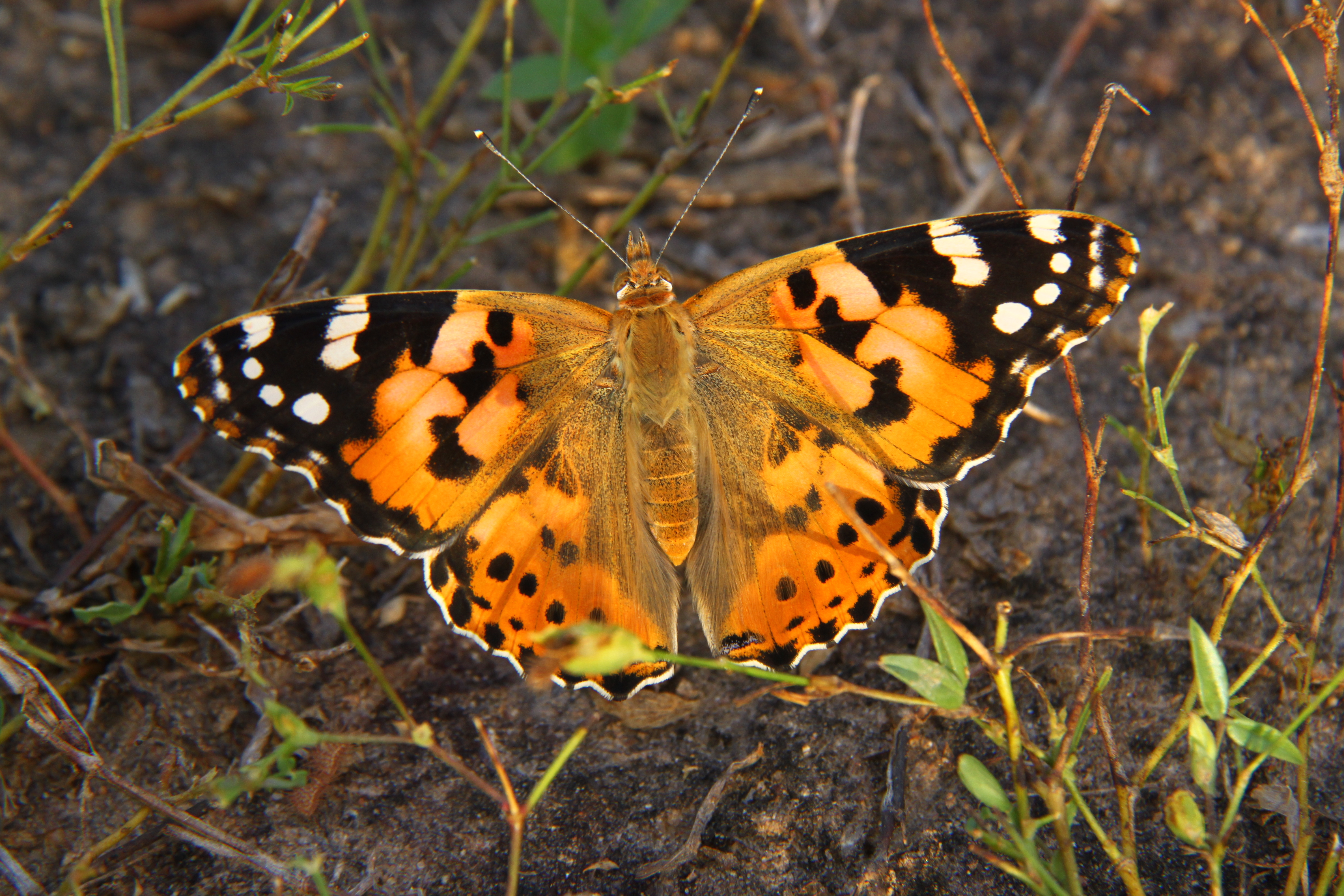 Vanessa cardui butterfly