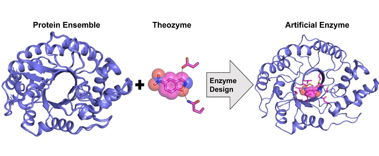Computational design of a highly active artificial enzyme from a protein structural ensemble