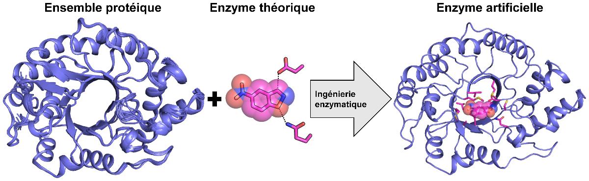 Ingénierie par ordinateur d'une enzyme artificielle très active à partir d'un ensemble structurel de protéines