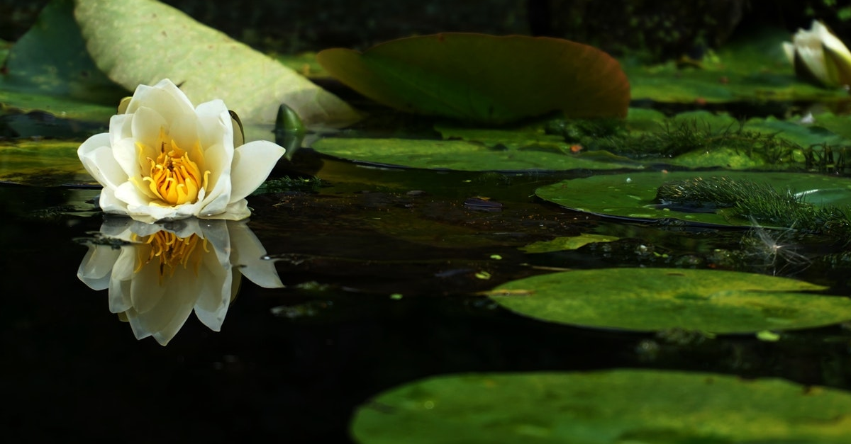 Waterlilly floating in a pond