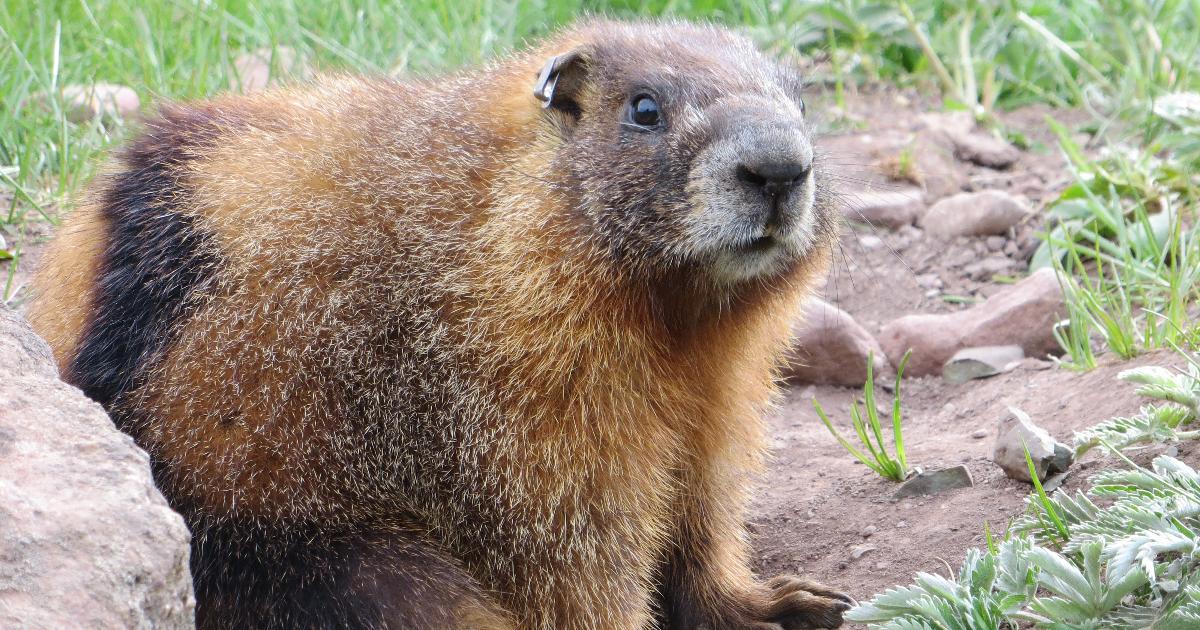 Yellow-bellied marmot female