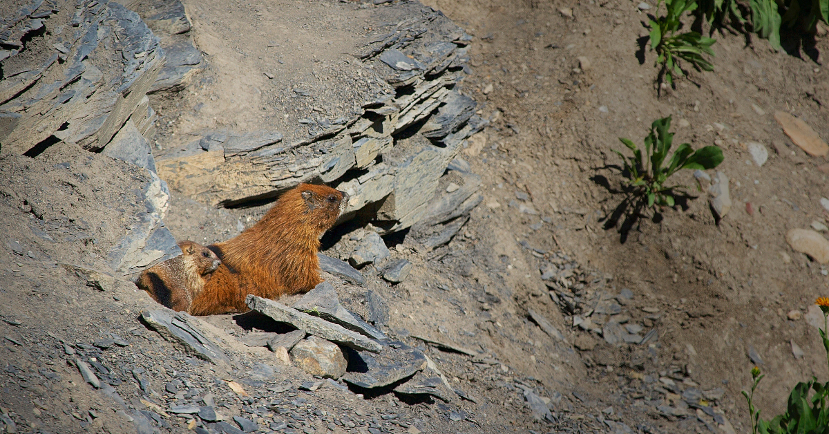 Yellow-bellied marmot mother and pup