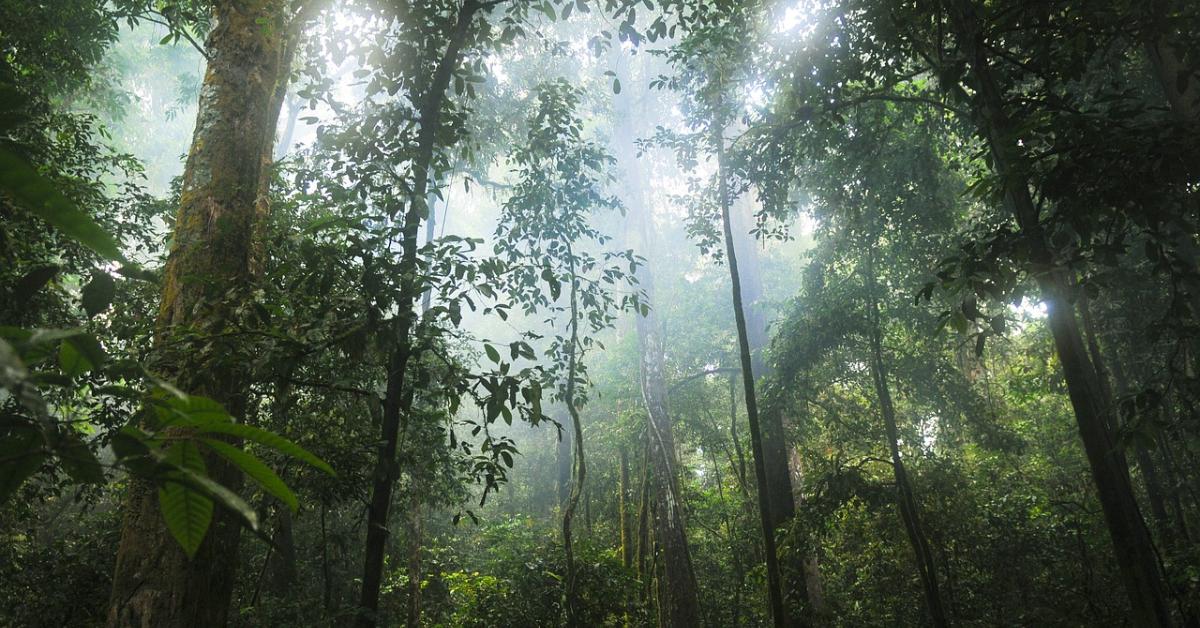 The sun shining through trees in a dense rainforest.