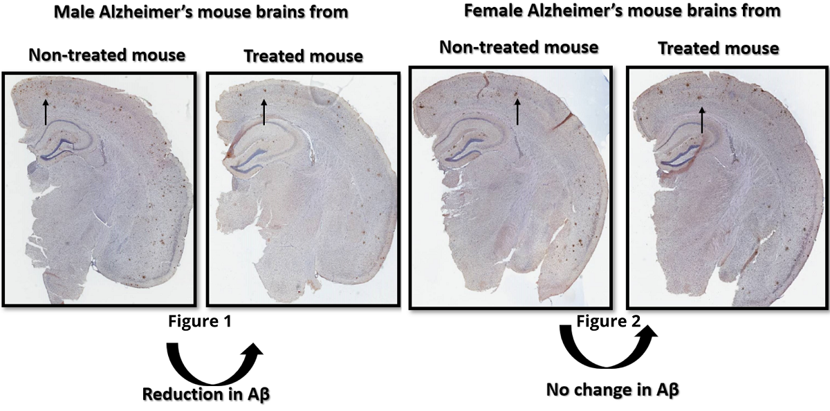 Comparisons of study male and female brains