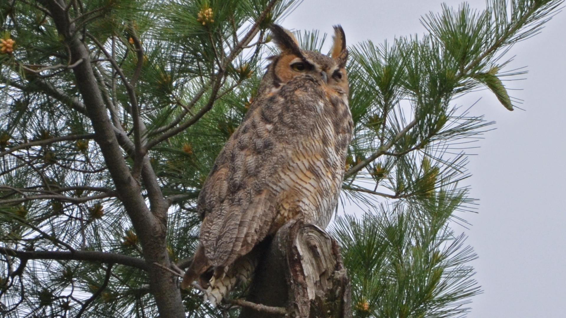 Great horned owl / Grand-duc d'Amérique