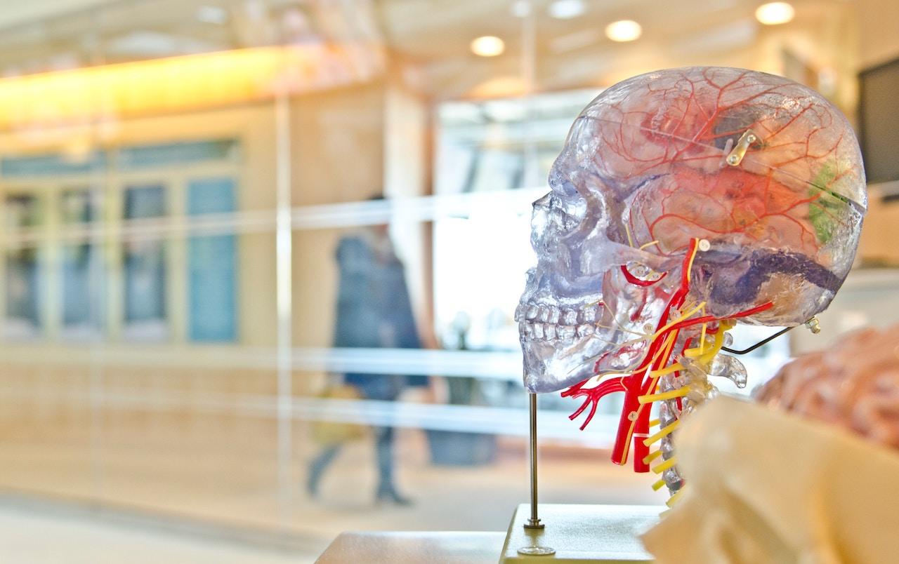 Crâne transparent pour étudier l'anatomie