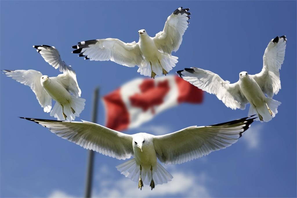 Birds flying over a Canadian flag