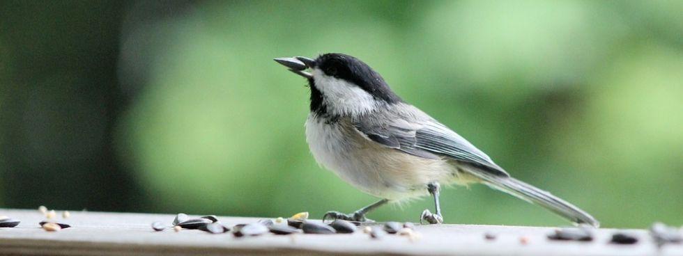 chicadee feeding on bird seeds
