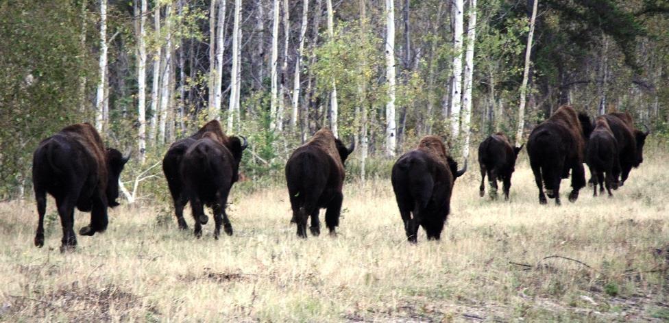 Wood bison / Bisons des bois